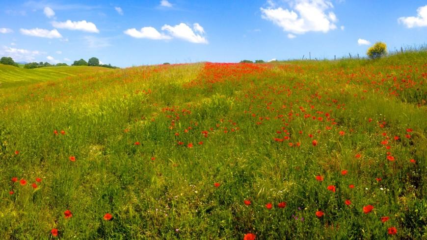 Campo di papaveri vicino all'Agriturismo Sant'Egle