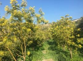 Alberi di mimosa fioriti in primavera, Agrilunassa Guest House a Bordighera