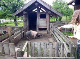 Maiale nella fattoria del Biohotel Gralhof