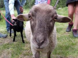 Moena, a passeggio con le pecore