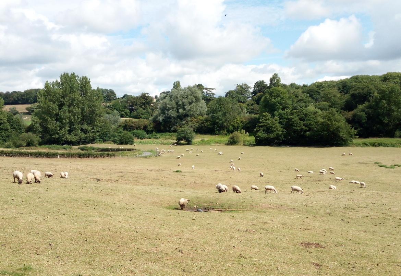 Paesaggio punteggiato da pecore nella campagna del Wiltshire, Inghilterra