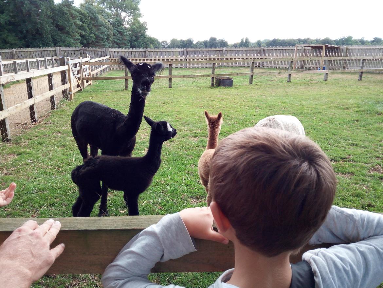 A contatto con gli animali: gli alpaca a Bowood