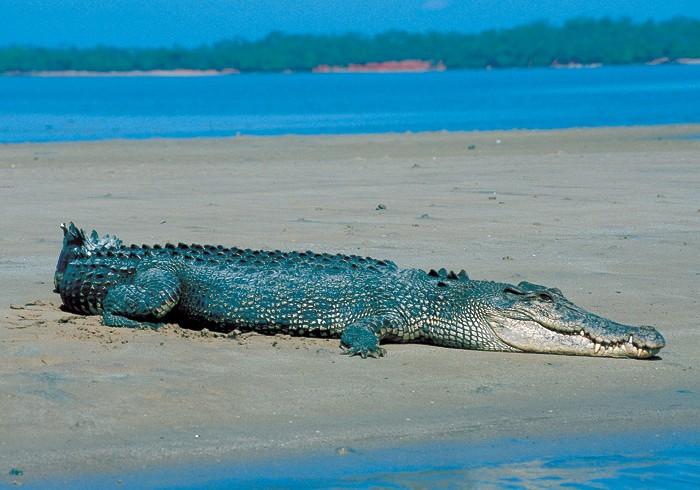 I coccodrilli di mare