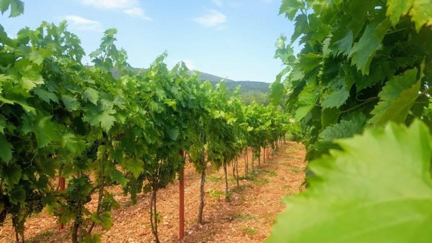 Le vigne della Dalmazia
