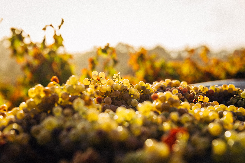 grappoli di uva gialla tra le viti