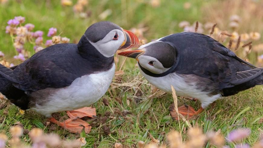 Pinguinelle di mare nelle Shetlands