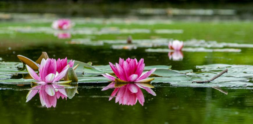 ninfee rosa che galleggiano su uno dei laghetti di Parco Sigurtà