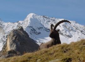 Capra Ibex nel Parco del Gran Paradiso