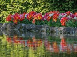Tulipani rossi e gialli che si specchiano nell'acqua del Parco Sigurtà