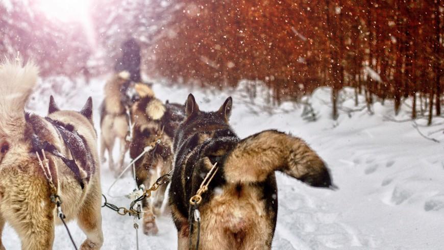 Imparare a guidare una slitta trainata dai cani