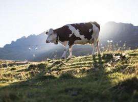 mucca al pascolo a Passo San Pellegrino