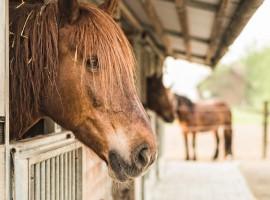 Tenuta Trnulja, cavallo