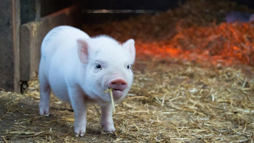 piccolo maiale