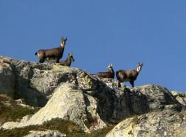 Camosci nel Parco Naturale delle Alpi Marittime, Limone Piemonte