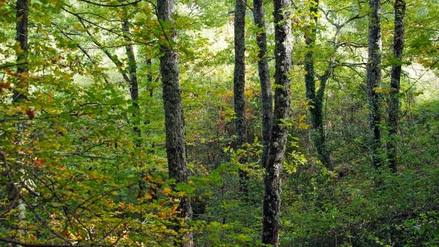 Cerro Italy Forest Quercus Cerris present in Park Pollino