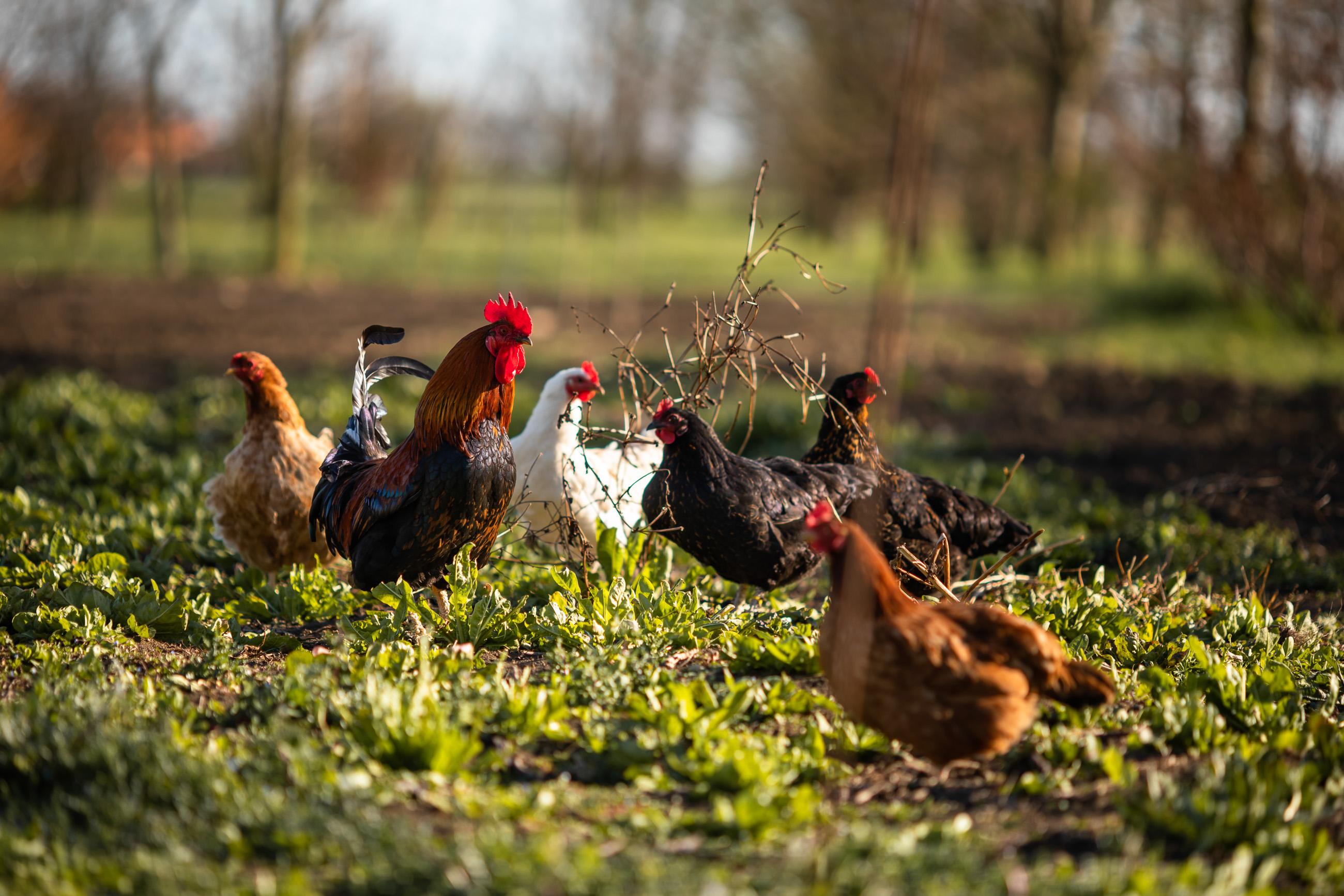 galline libere vicino a casa Fiorindo