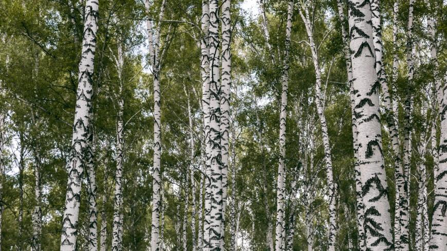 Betula pendula trees