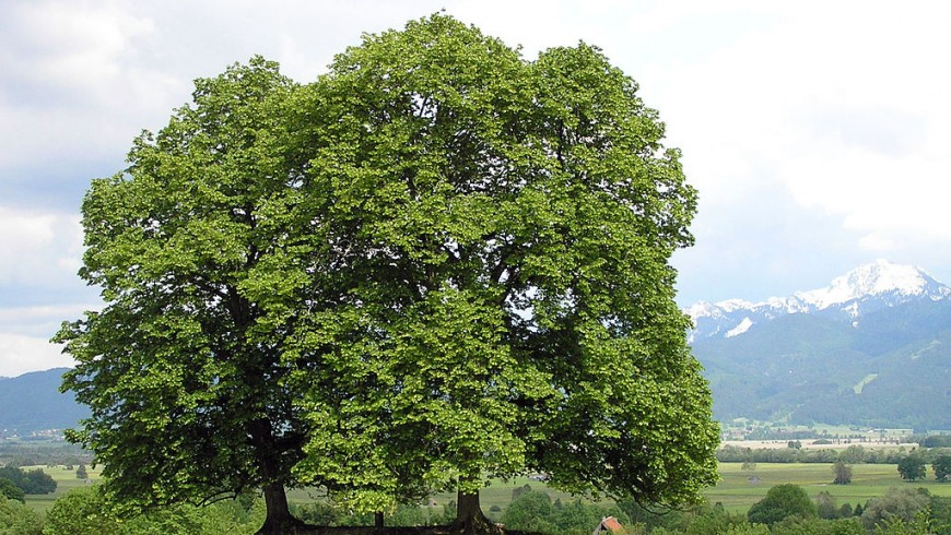 uno degli alberi anti smog più efficienti è il Tiglio selvatico (Tilia cordata)