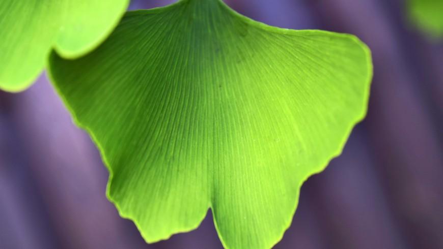 Foglia dell'albero anti smog di Ginkgo Biloba, con la forma a farfalla