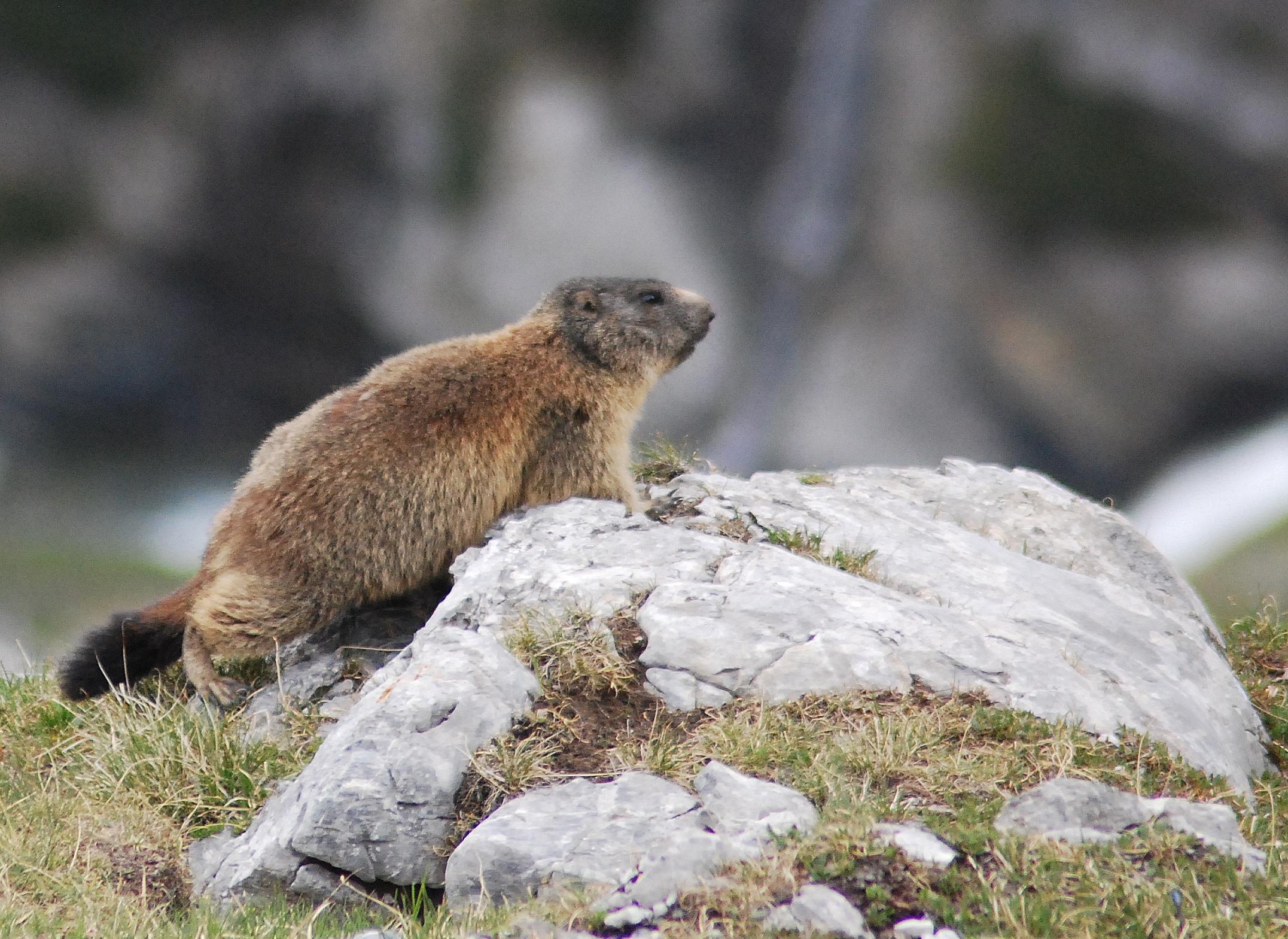marmotta su una roccia, nelle Alpi