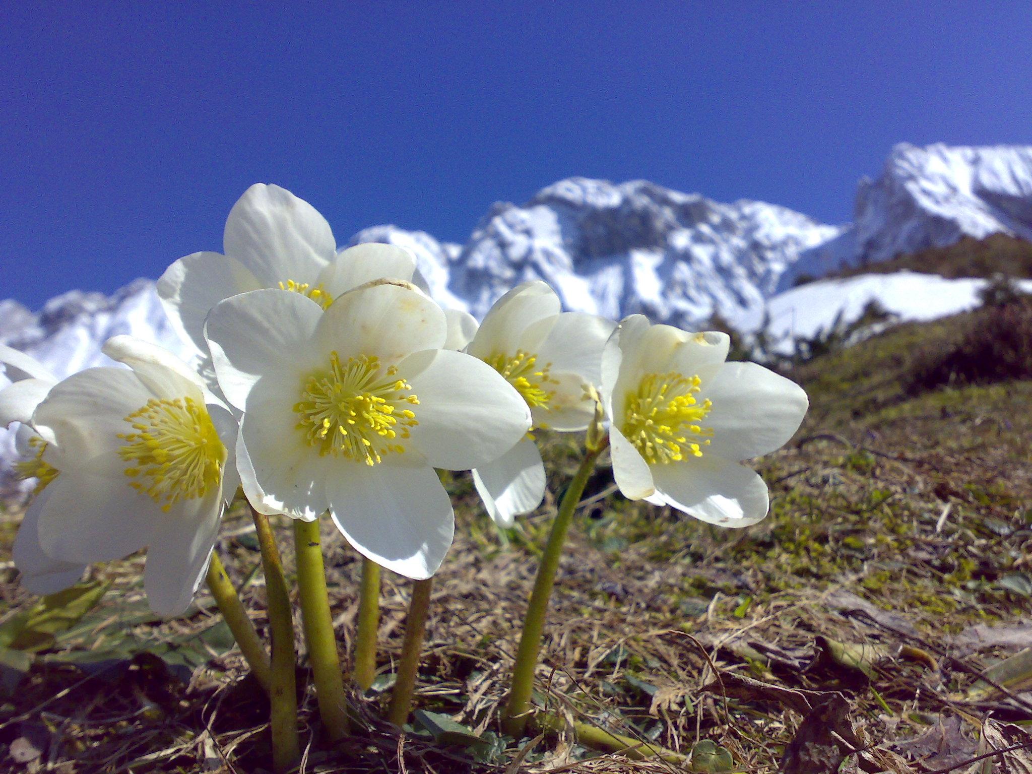 Hémmara (in cimbro) è il nome dell'Ellaboro, fiore che sboccia in Inverno