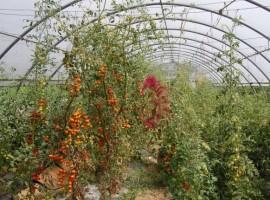 interno della serra con pomodori e altri ortaggi