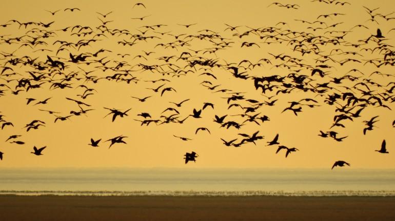 Gabbiani in volo sul mare dei Wadden, photo Henk Bree
