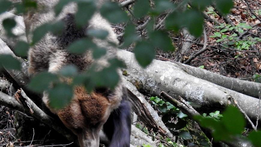 L'orso bruno nel Parco Adamello Brenta