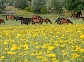 cavalli in un campo fiorito