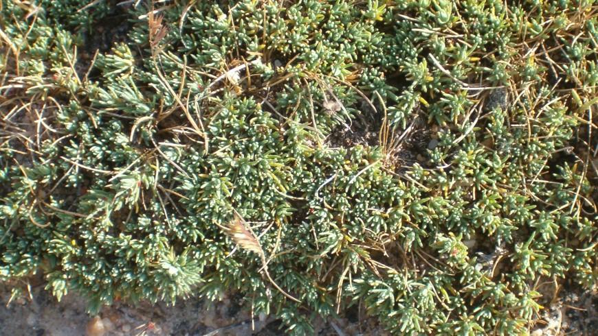 Canforata di Montpellier: una delle piante della Riserva dei Calanchi