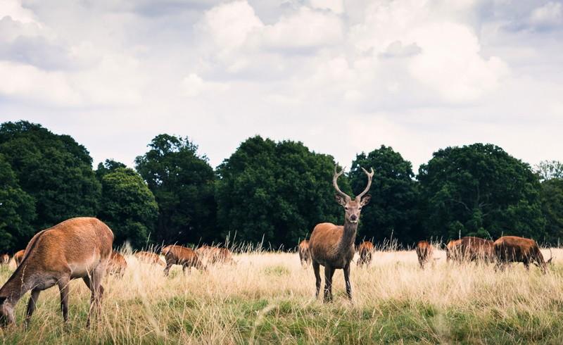 renne brucano l'erba nel parco vicino alla foresta di Londra, una delle migliori città vegan al mondo