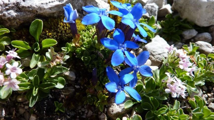 Fiori nel Parco Adamello Brenta
