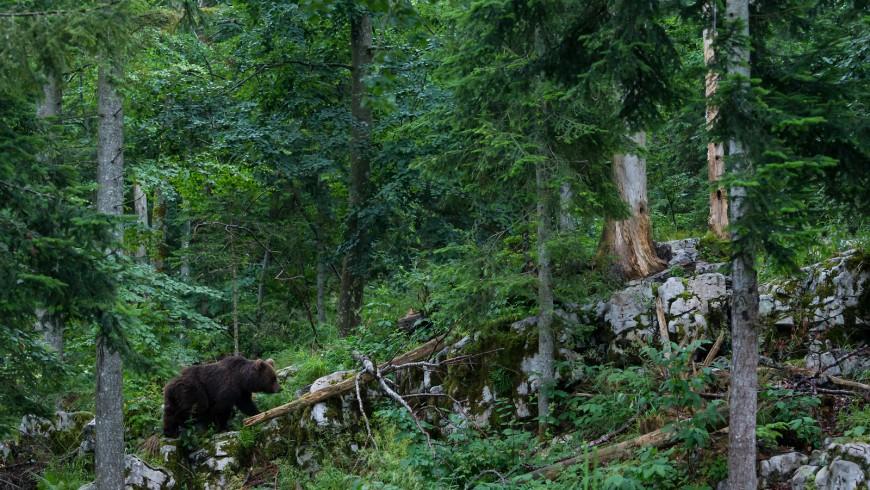 orso nelle foreste slovene