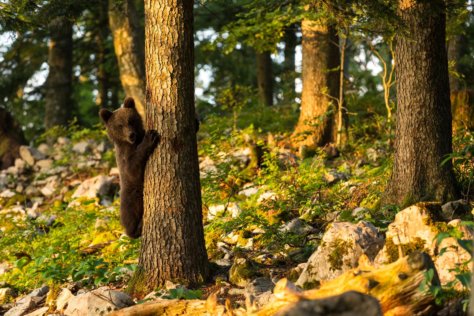 cucciolo d'orso si arrampica