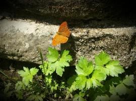 farfalla alla sorgente del fiume kupa, valle delle farfalle
