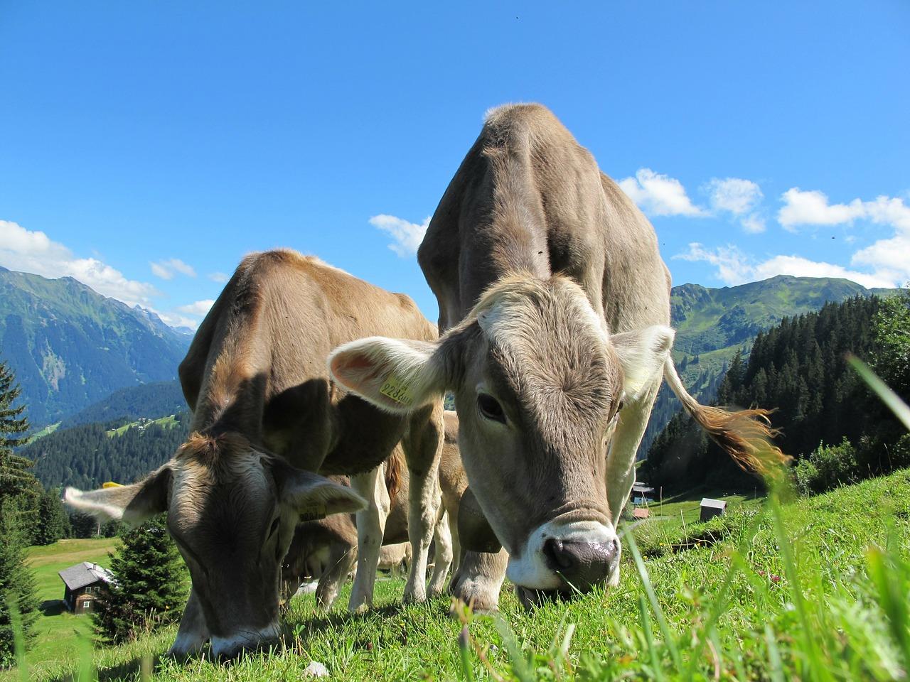 Regala una mucca per sostenere le malghe