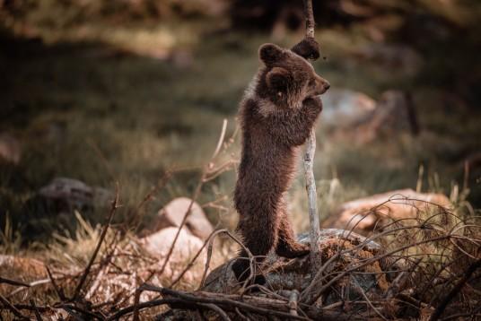 orsetto gioca con dei bastoni