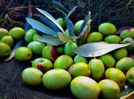 olive autoctone slovenia