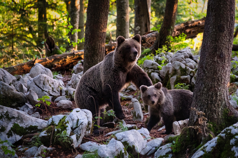 famiglia di orsi bruni nel bosco della slovenia