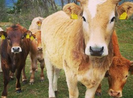 mucche Tourist Farm Pri Andrejevih