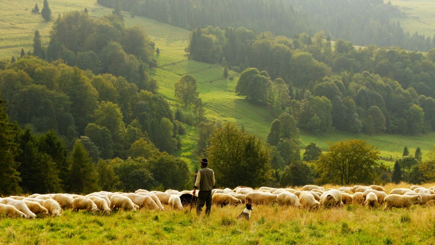 pastore in slovenia tra le pecore