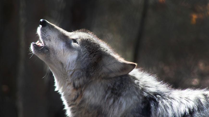 lupo ulula il mattino