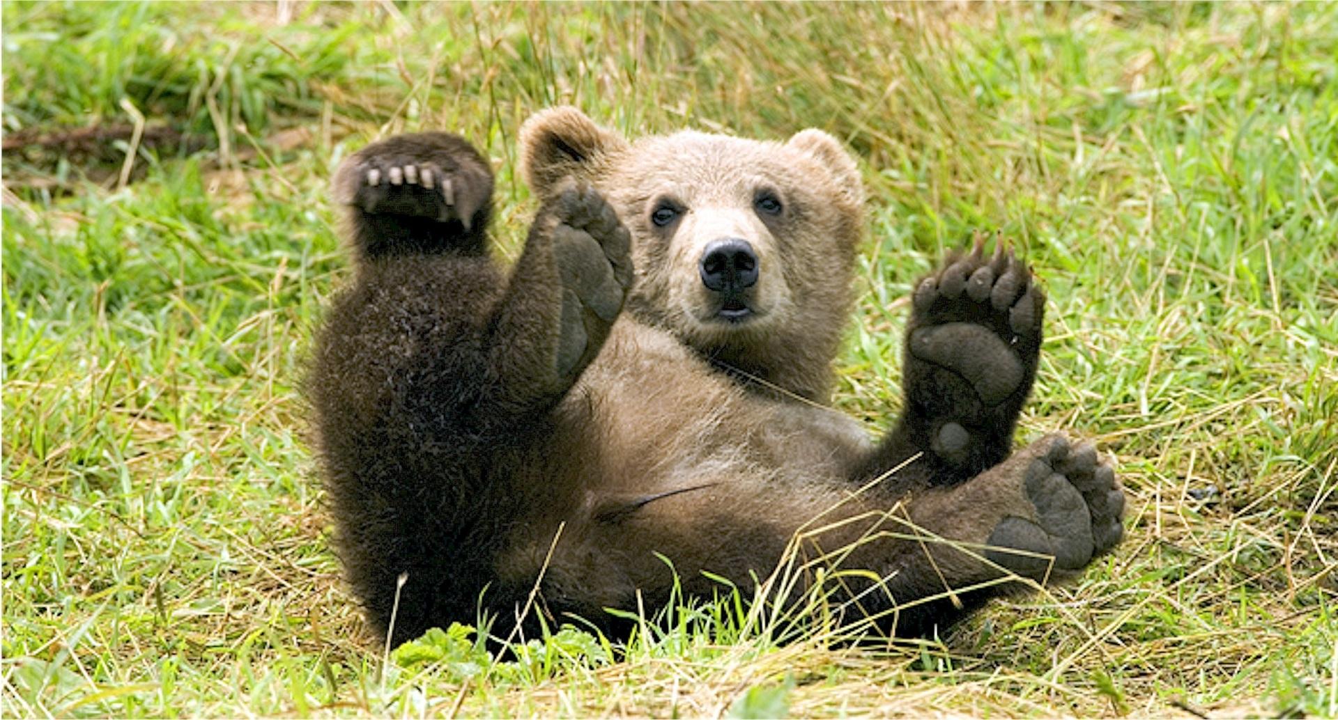 cucciolo d'orso sdraiato a pancia in su