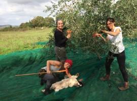 Raccolta delle olive all'agriturismo biologico Sant'Egle