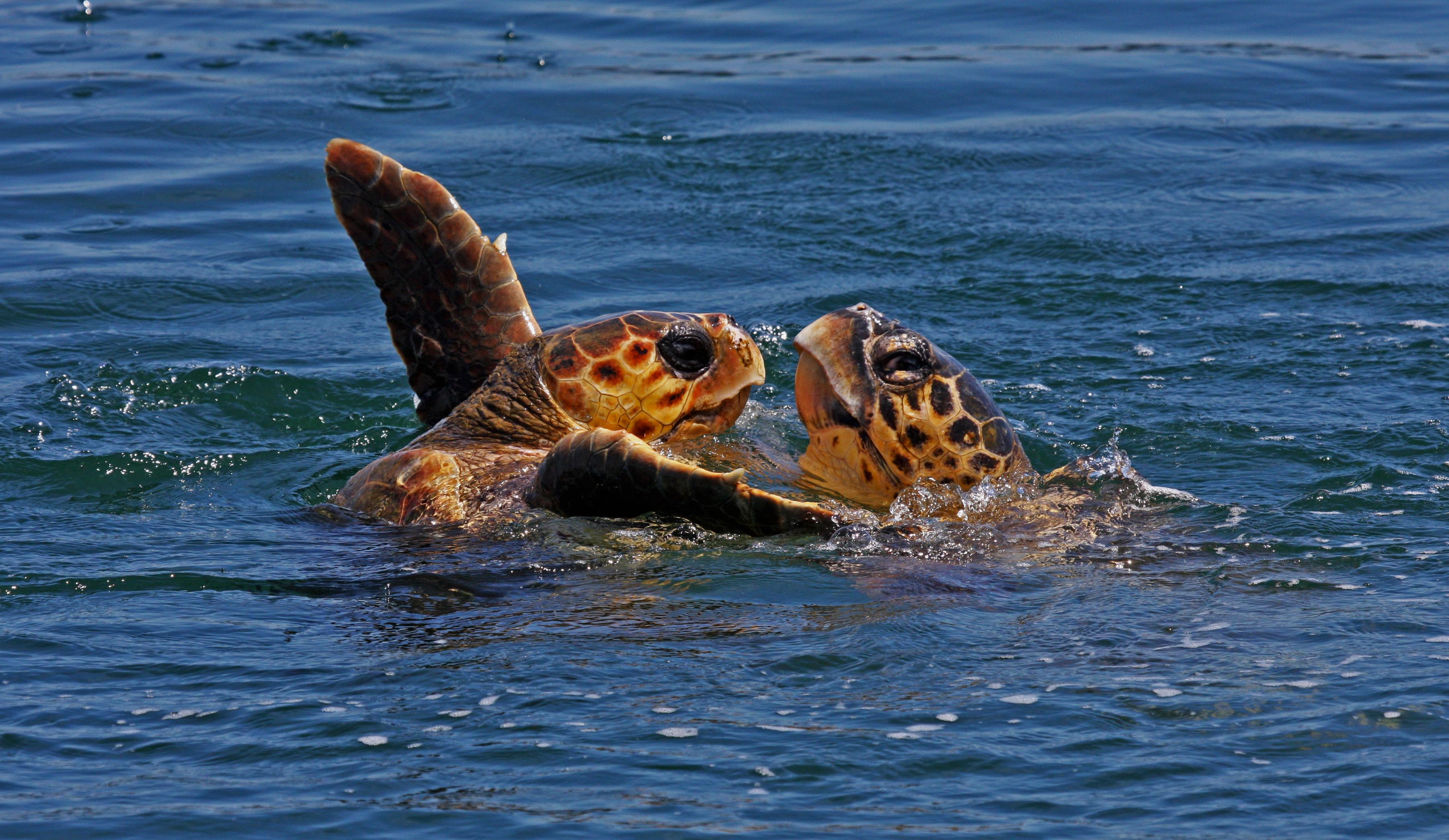 Due tartarughe marine Caretta Caretta che giocano in acqua