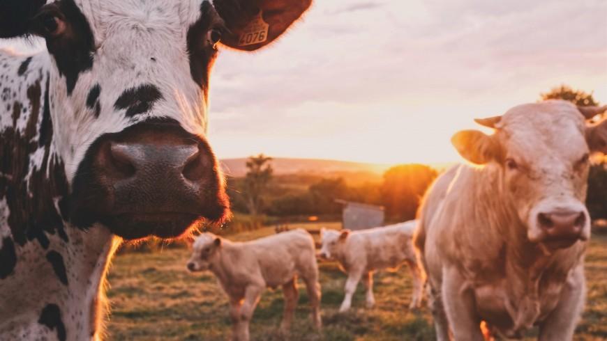 mucche libere al pascolo