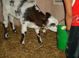 Un vitello alla dimostrazione del Caseificio degli Altipiani e Vezzena