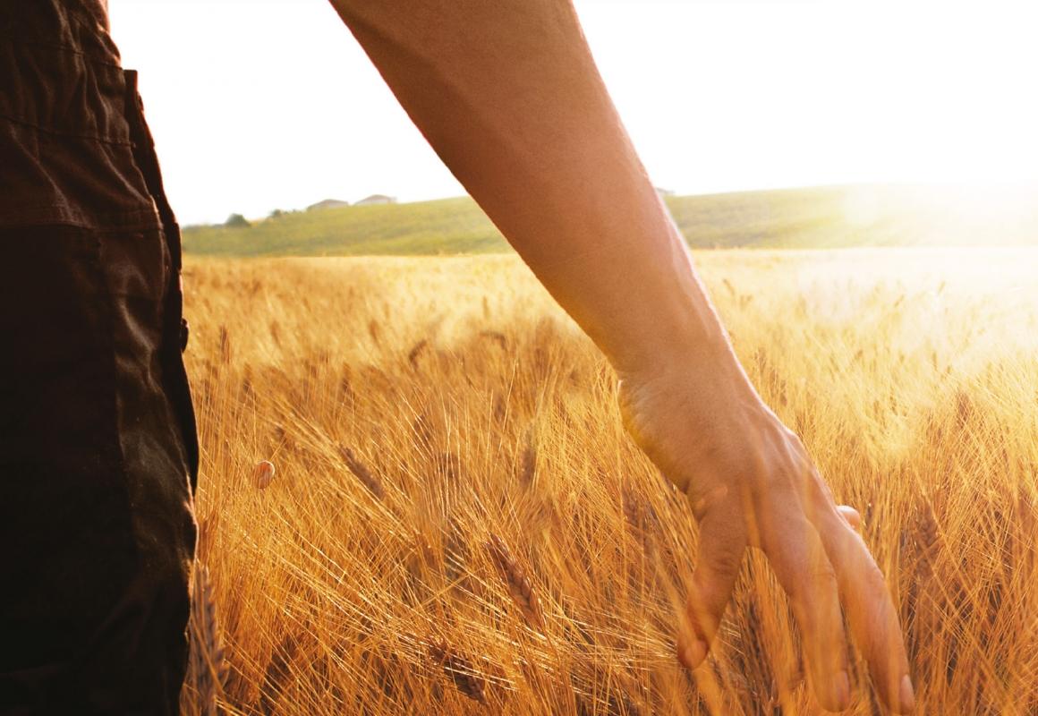 toccare con mano il grano biologico da cui si produce la pasta Girolomoni