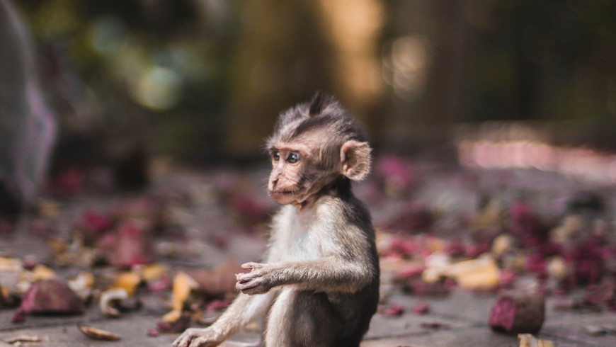 Baby monkey found in Sacred Monkey Forrest in Ubud, Bali