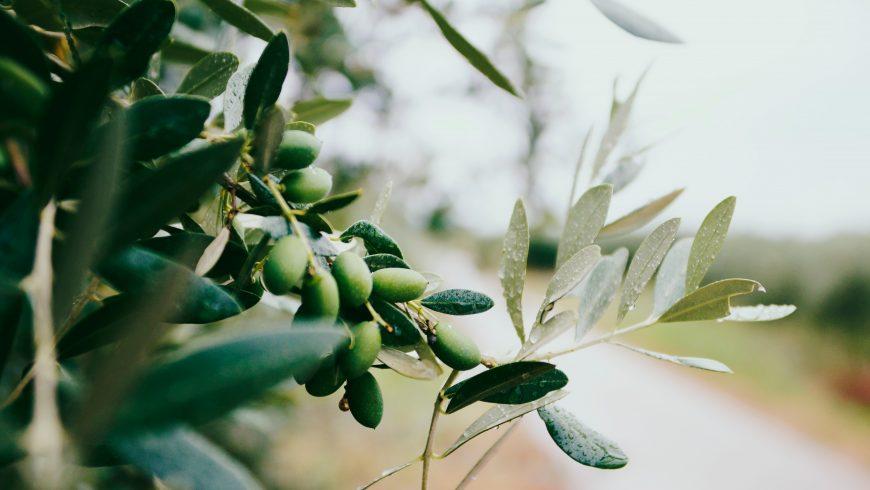 Olive a Casa Cares, Toscana